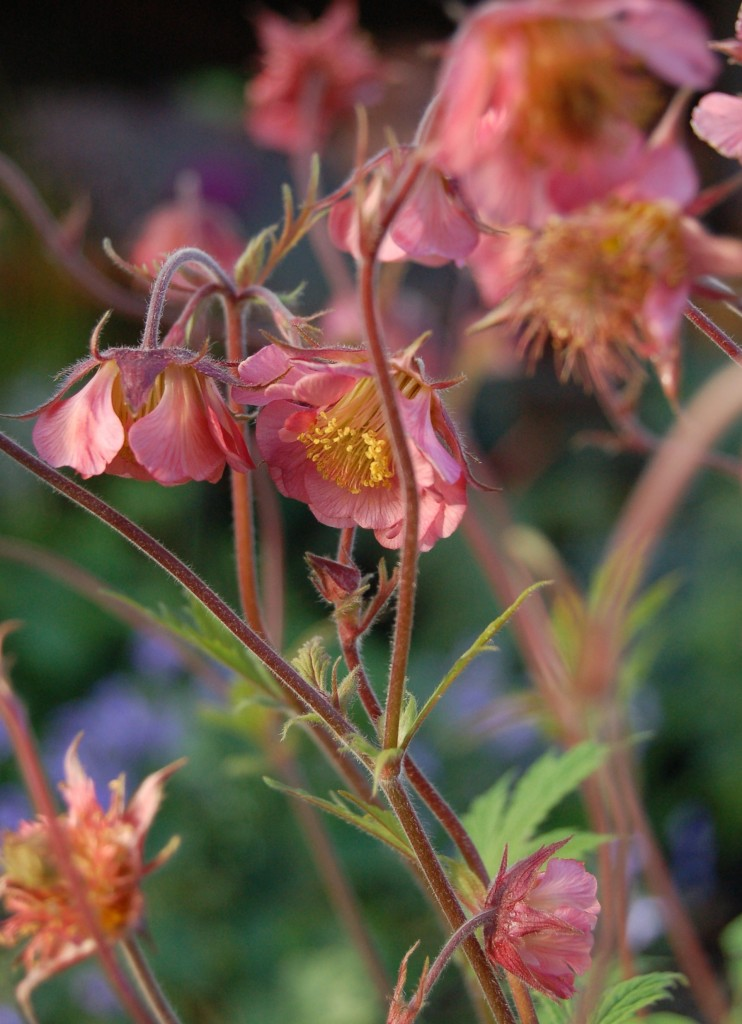 Geum 'Belle Bank'
