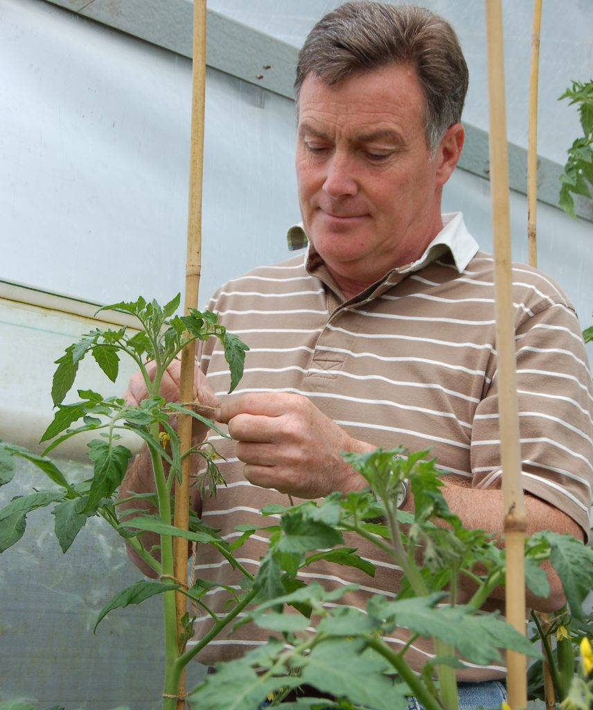 Tying tomatoes to canes