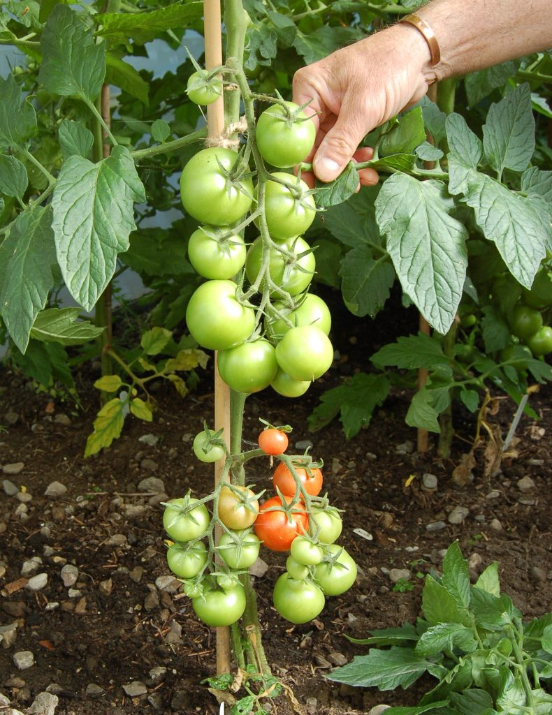 Remove tomato leaves to speed up ripening