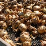 shallots-drying-in-the-sun