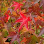 Liquidambar in our garden