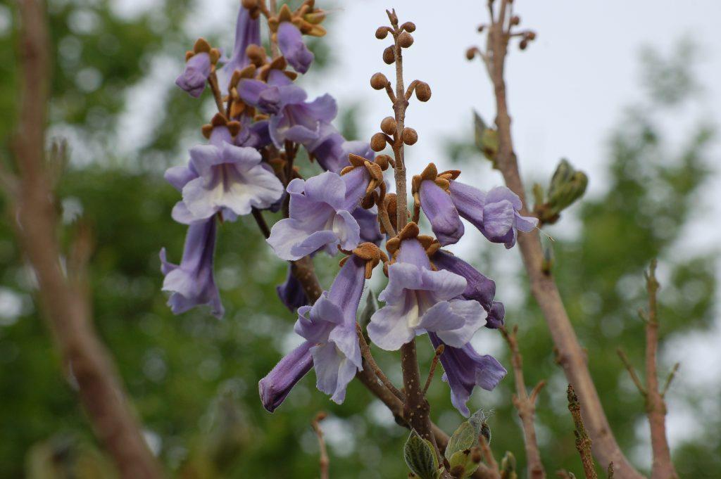 Paulonia flowers