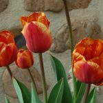 Colourful tulips in spring