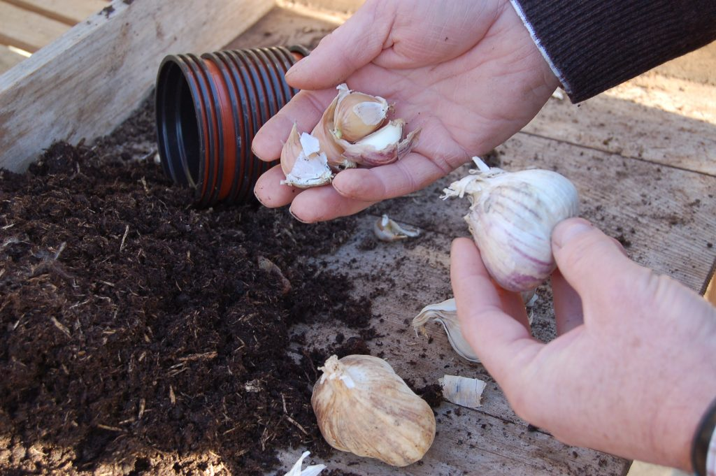 Garlic planting in pots