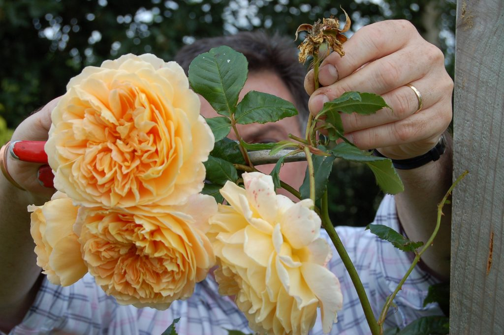 Deadhead roses regularly to encourage new flower buds web