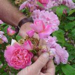 rose head-head
