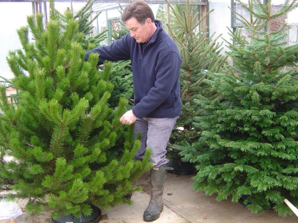 Choosing a christmas tree web