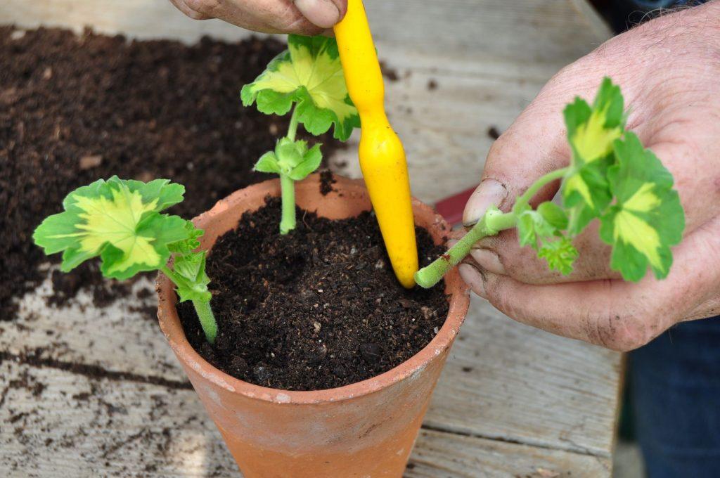 Pelargonium cuttings - step 3