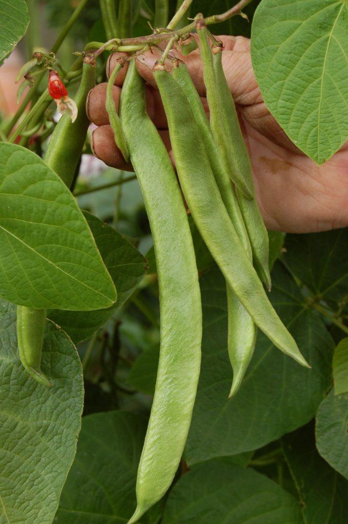 Picking runner beans - web